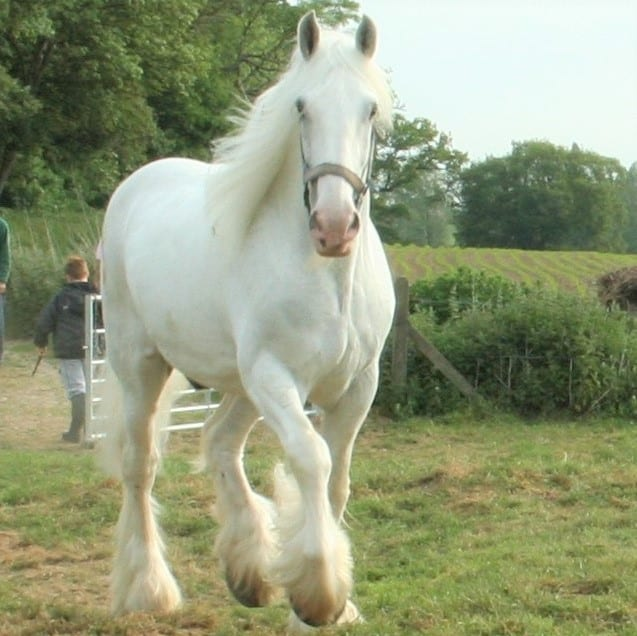 The Ostler is home to 4 White Shire Horses - Horse ...